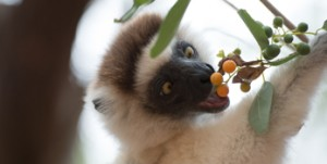 RACV – Win 1 of 5 Family tickets to Escape to the island of Lemurs