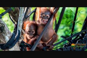 Orangutan Odysseys – Win an Orangutan Adventure Holiday In Central Borneo for 2