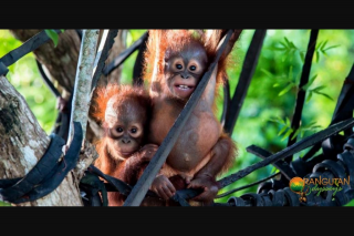 Orangutan Odysseys – Win an Orangutan Adventure Holiday In Central Borneo for 2