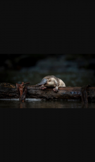 Australian Conservation Foundation – Win a Beautiful Artwork of The Platypus By Tasmanian Cartoonist Christopher Downes (prize valued at $600)