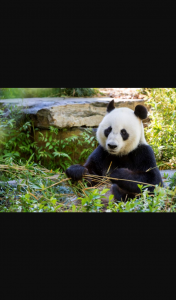 AGL – Adelaide Zoo – Win One of Three Double Passes to VIP Panda at Adelaide Zoo (prize valued at $3,000)